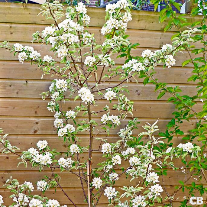 De perenboom staat prachtig in bloei!