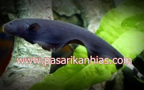 Ikan hias air tawar Blackghost
