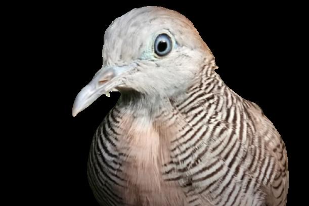 jenis jenis burung perkutut dan gambarnya Kusuma Wicitra