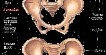 Cinturon pelvico huesos