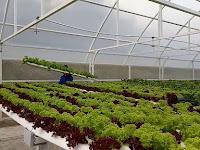 Inilah, Cara Menanam Sayuran Hidroponik di Green House