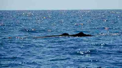Sperm Whales near Utila