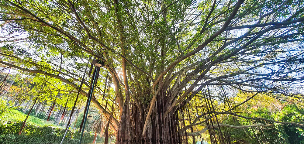 Moreton Bay Fig, Champion Tree, South Africa, UCT Upper Campus, Kindergarten Giant, Cape Town, Alex Aitkenhead, Majestic Trees, Southern Africa