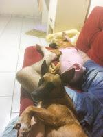 Foto das duas cachorras que esperam uma doação, mostrando elas deitadas comigo.