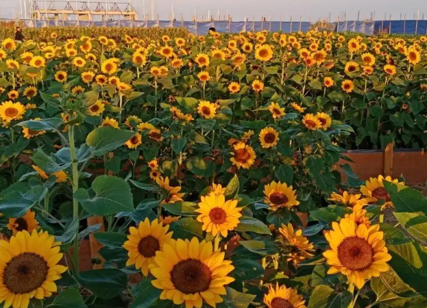 Be amazed with the beauty of Sunflower Camp at Tayug Eco Park
