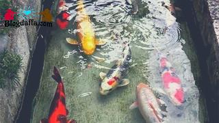 Mengganti Air Kolam Budidaya Ikan Koi