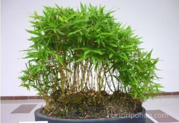 Ciri Ciri Pohon Bonsai Bambu
