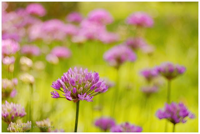 Czosnek, Allium, fioletowe kwiaty