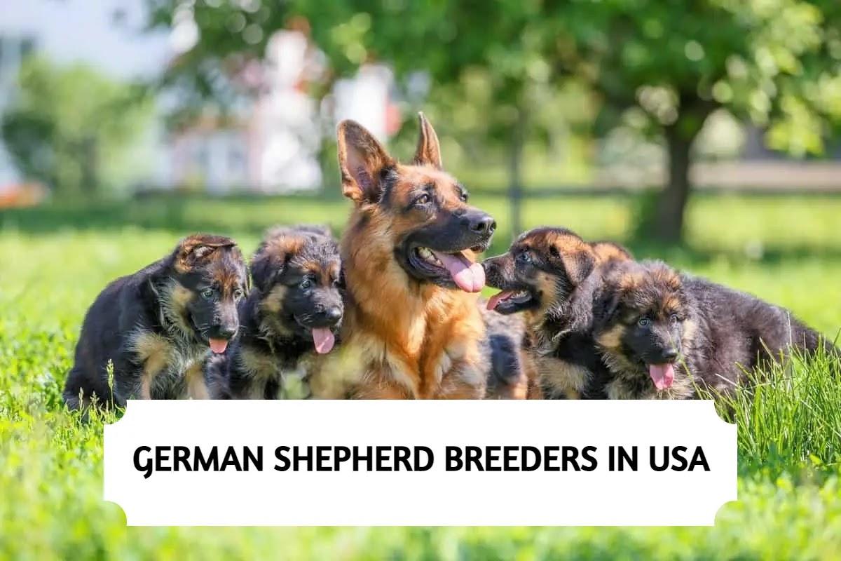 Best German Shepherd Breeders in the USA
