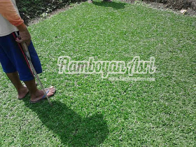 Tukang taman Surabaya Jual Rumput Gajah Mini Variegata