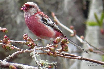 ベニマシコ ≪Long-tailed Rose Finch≫