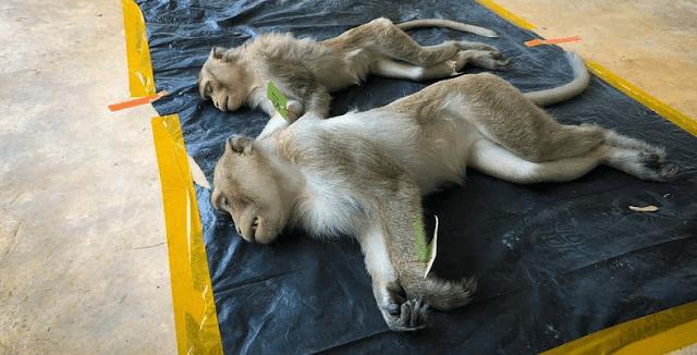 COVID-19 vaccine defends monkeys from a new coronavirus