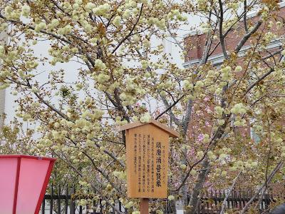 大阪造幣局 桜の通り抜け 須磨浦普賢象(すまうらふげんぞう)