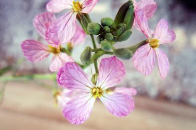 flores de rabanitos