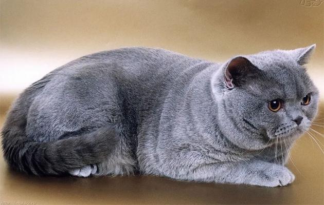 القط البريطاني ذو الشعر القصير