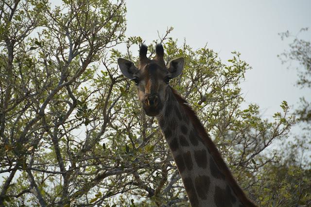 Singita Sweni Africa hotel resort Kruger National Park giraffe