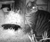 Stripey Cat
