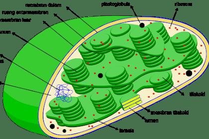 Kloroplas Adalah Sel Tumbuhan Yang Memproduksi Energi