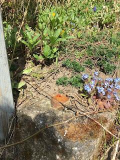 Zauneidechsen Garten Sonne Männchen Weibchen