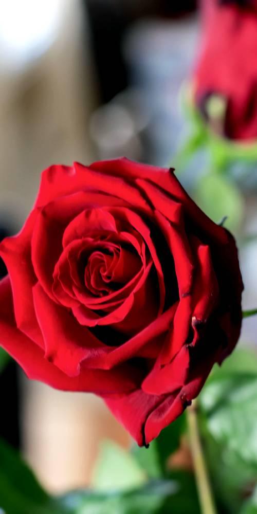 ambiente de leitura carlos romero cronica conto poesia narrativa pauta cultural literatura paraibana veronica farias jardinagem cultivo flores rosas plantas jardim