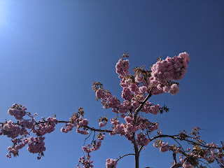 Cherry blossom at the top of the tree in full sun with a blue sky