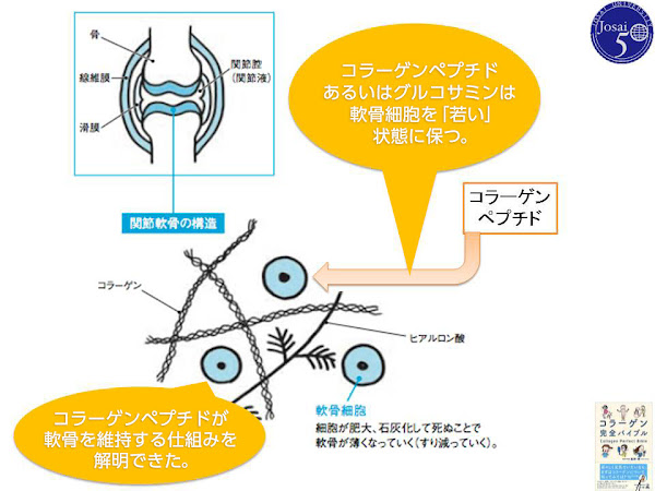 コラーゲンペプチドと軟骨組織