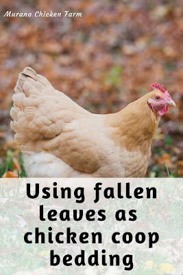 Chicken playing in leaves in chicken coop