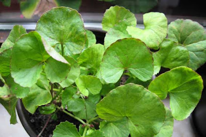 10 Manfaat daun pegagan bagi kesehatan
