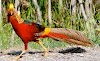 The Golden Pheasant a wonderful golden colors bird
