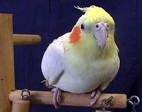 MY BIRDS PICS: Cockatiel Bird Pictures