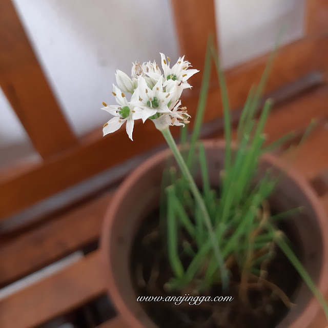 bunga kucai