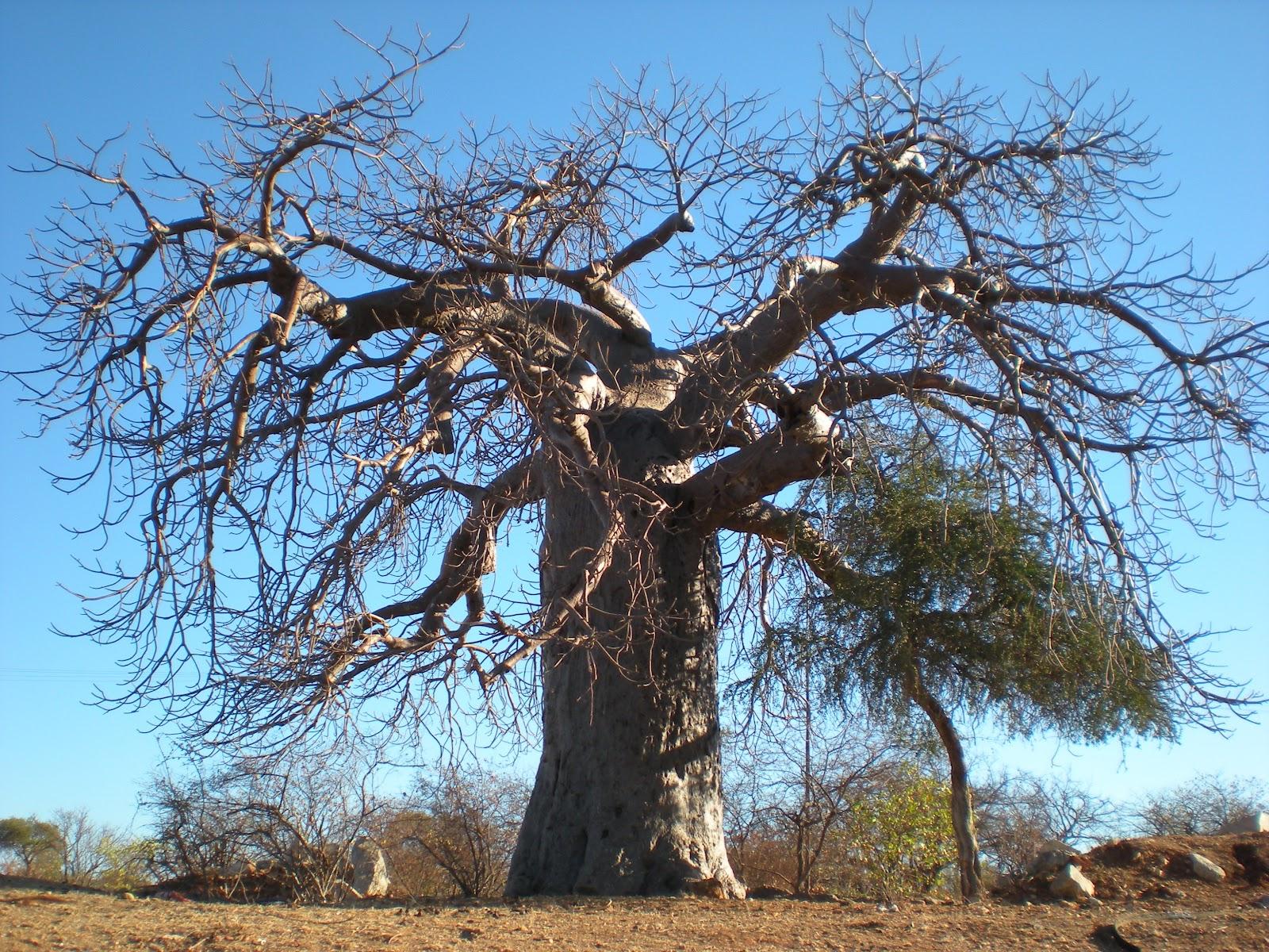 HECK'S MISSIONARY BLOG: BAOBAB TREES