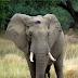Pretty Boy: Ο ελέφαντας που πυροβολήθηκε στο κεφάλι και περπάτησε μέρες μέχρι να βρει βοήθεια