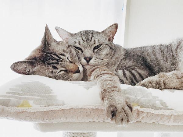 ぴったり頬をくっつけている兄弟猫
