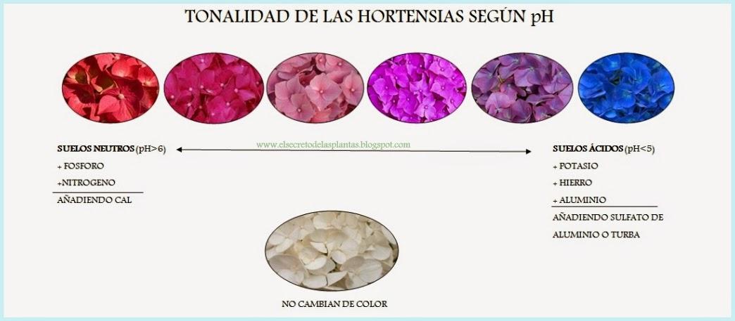 Hortensia - Cuidados de las hortensias ...