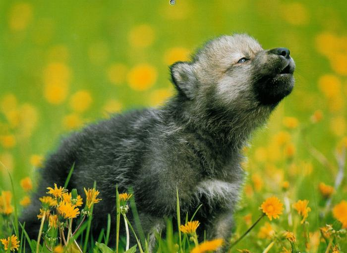 Little Girl Under a Big Sky: Baby Wolves!
