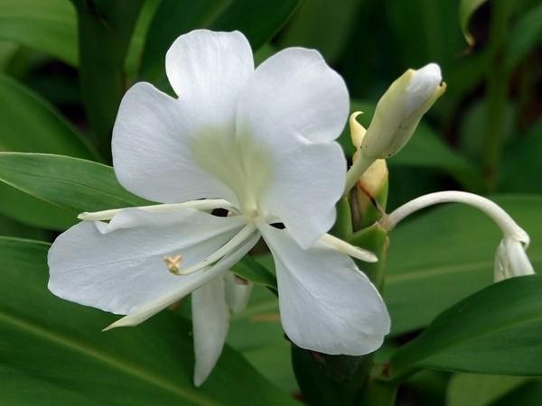 Hasil gambar untuk tanaman gandasuli