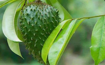 daun sirsak yang kaya manfaat