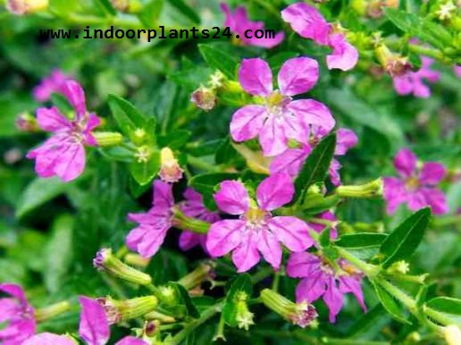 Lythraceae Indor House Plant potted picture