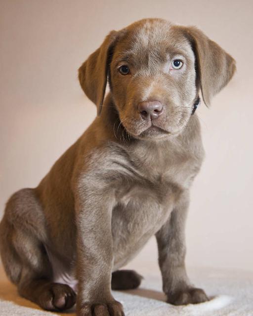 retrato del cachorro de labrador plateado