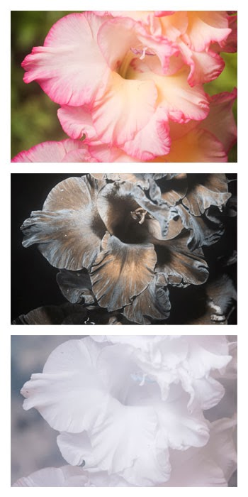 Gladiolus × hortulanus 'Priscilla' flower photographed in visible light (top), ultraviolet (middle), and infrared (bottom)