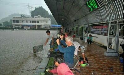 umpan ikan bawal harian saat hujan