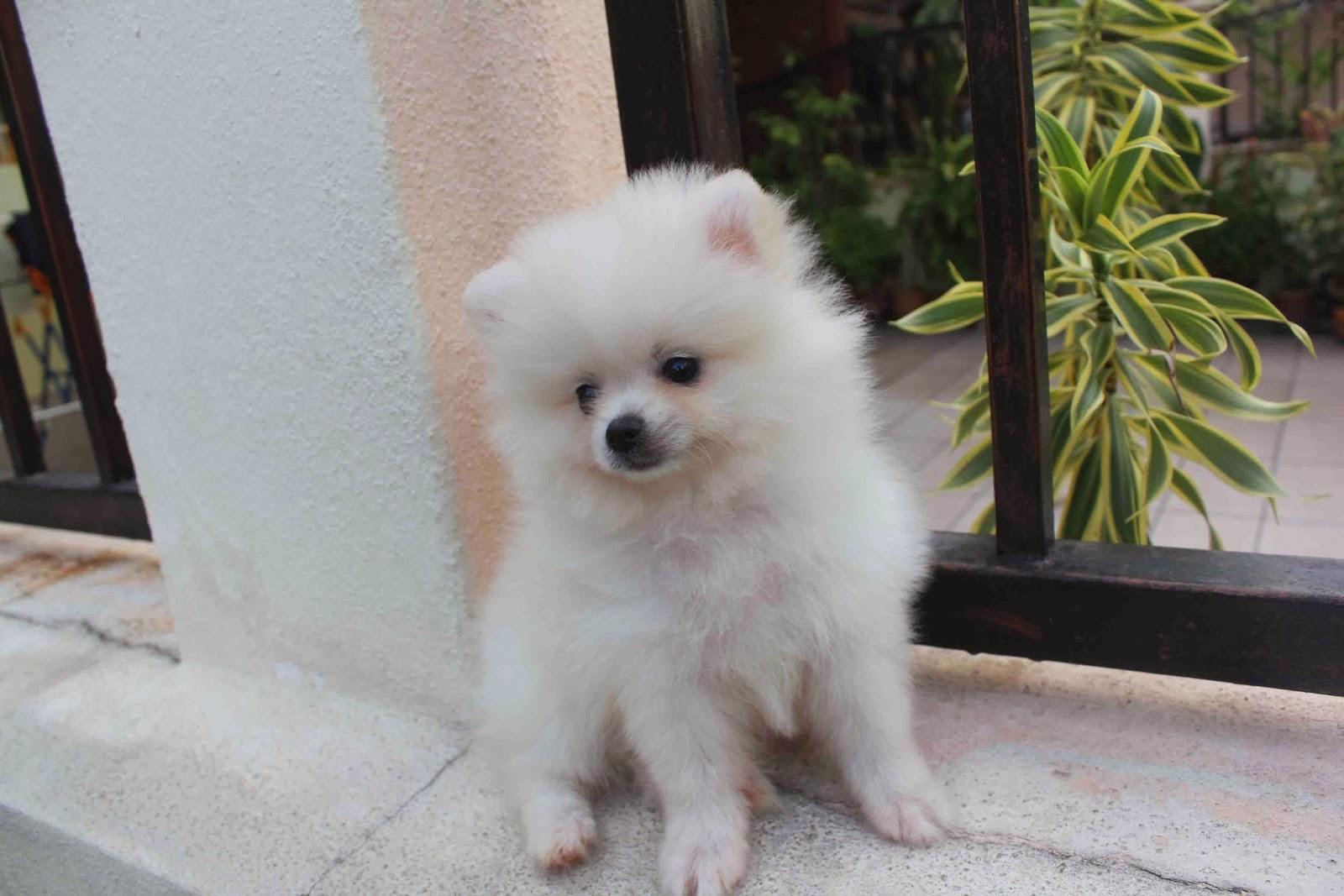 20171023 Mini White Pomeranian Puppy