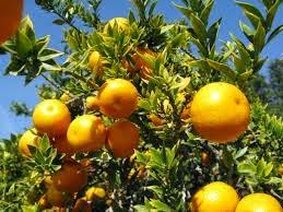 penyebab pohon jeruk tidak mau berbuah, tips agar pohon jeruk cepat berbuah
