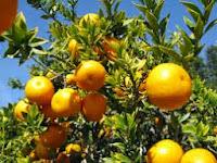 Tips Agar Pohon Jeruk Cepat Berbuah
