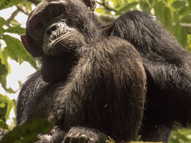 Chimpanzee in Kibale Forest in Western Uganda