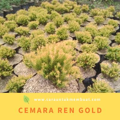 Cemara Ren Gold