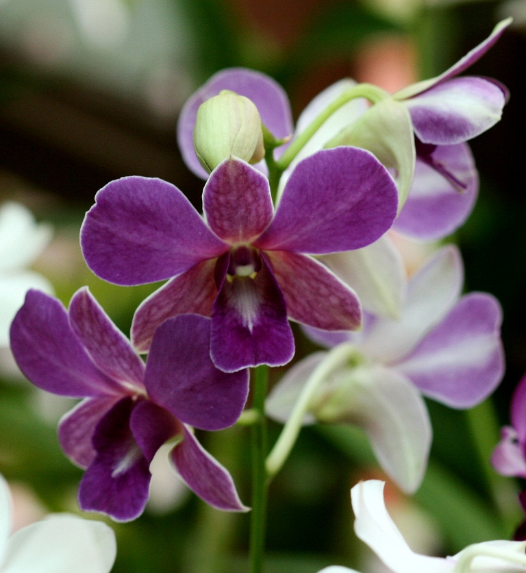 Flower Picture: Orchid Flower # 4