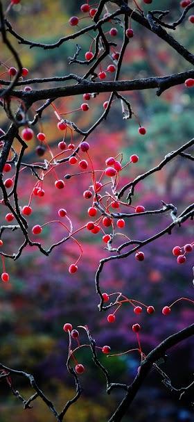 خلفية ثمار صغيرة على شجرة بدون أوراق