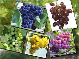 Cara Terbaik dan Mudah Cegah Kanker dengan Biji Anggur